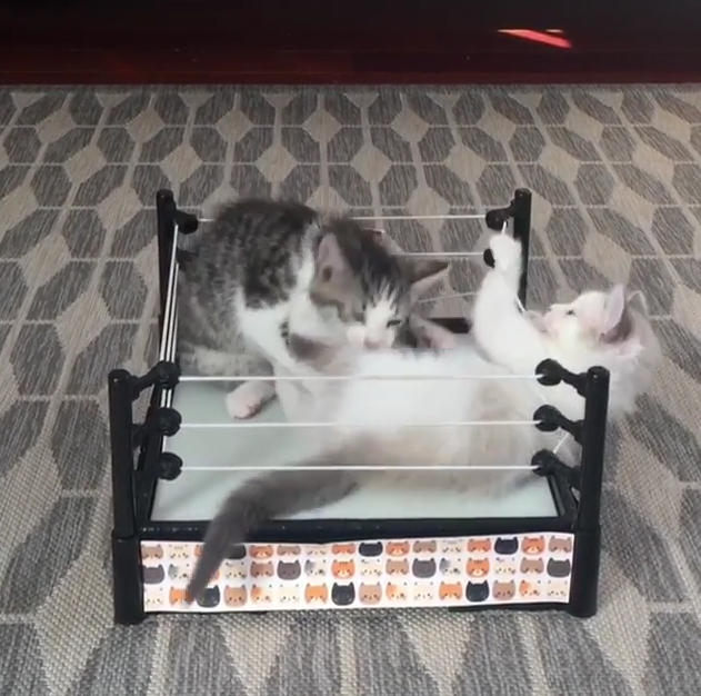 Cats Wrestling