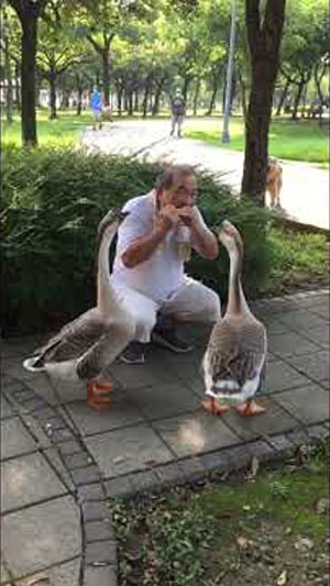 大安森林公園 喜愛音樂的鵝 -  luby liao